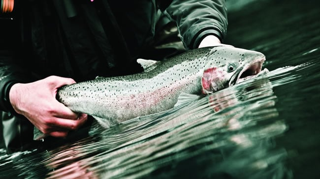When natural flows return, so do the steelhead