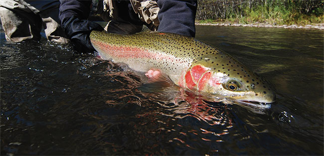 A GORGOUS MIDDLE-COLUMBIA STEELHEAD, WHICH HAS BEEN ESA-LISTED AS THREATENED FOR THE PAST 18 YEARS.