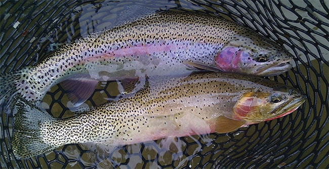CUTTIES AND RAINBOWS, PEACEFULLY CO-EXISTING ON THE YAKIMA.