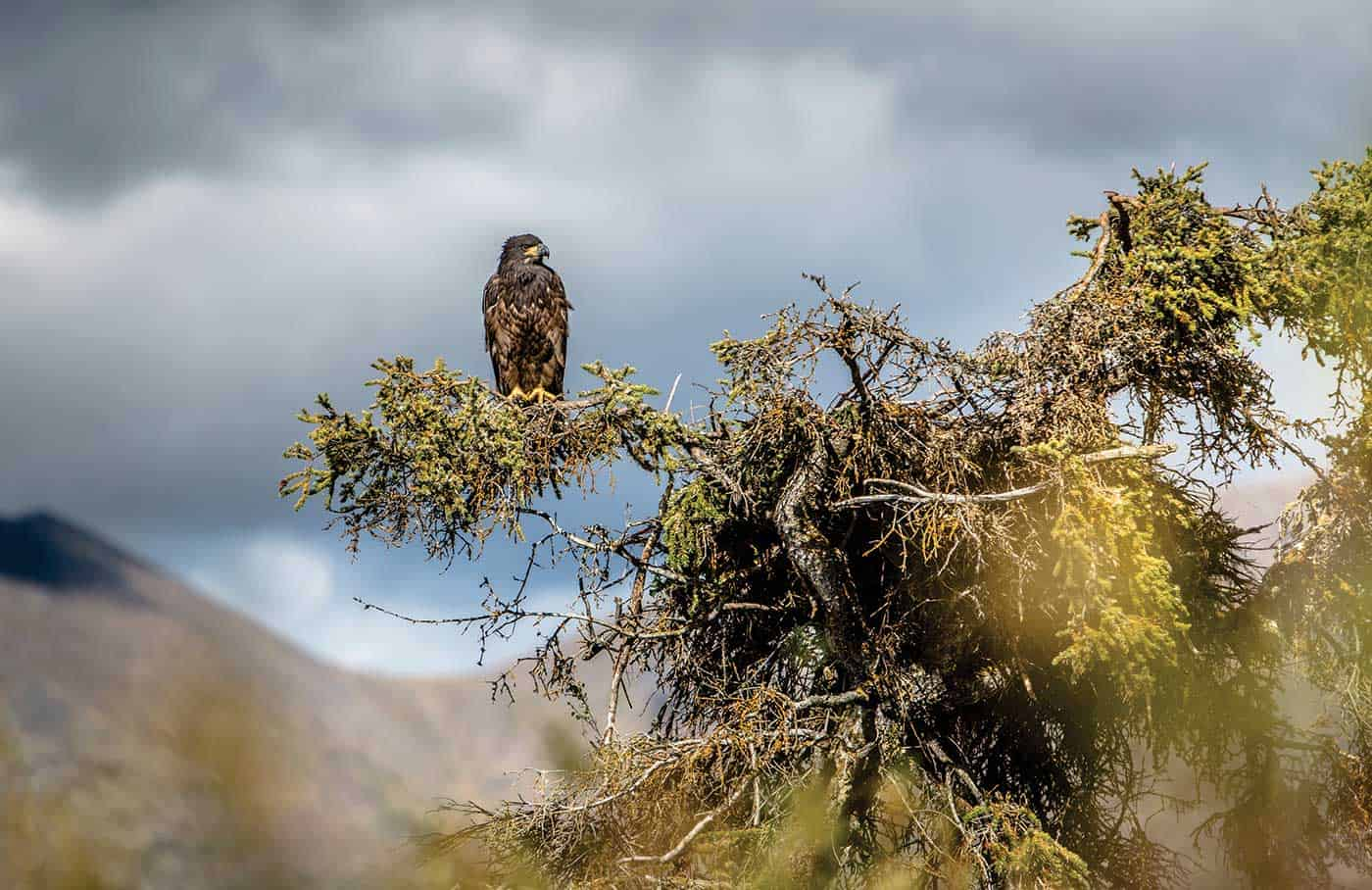 A golden eagle watching over her fishing hole.