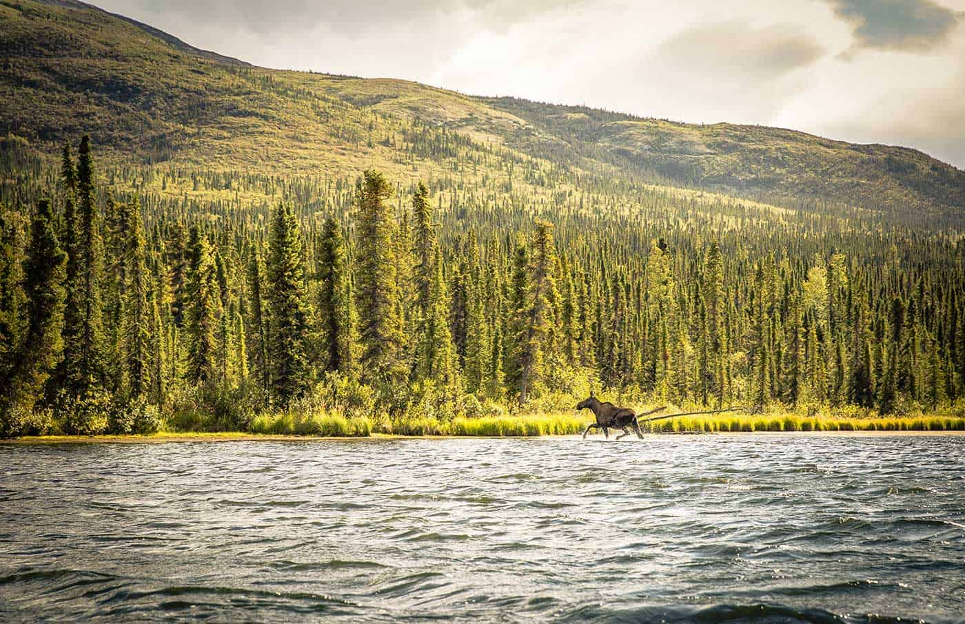 There is no shortage of wildlife in the yukon territory. Here, a rubber-nosed swamp donkey sprints across a shallow pike lake.