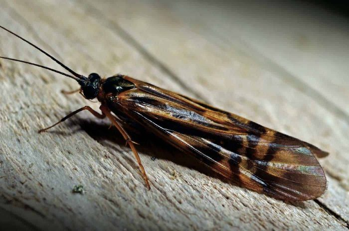 The alderfly that isn't