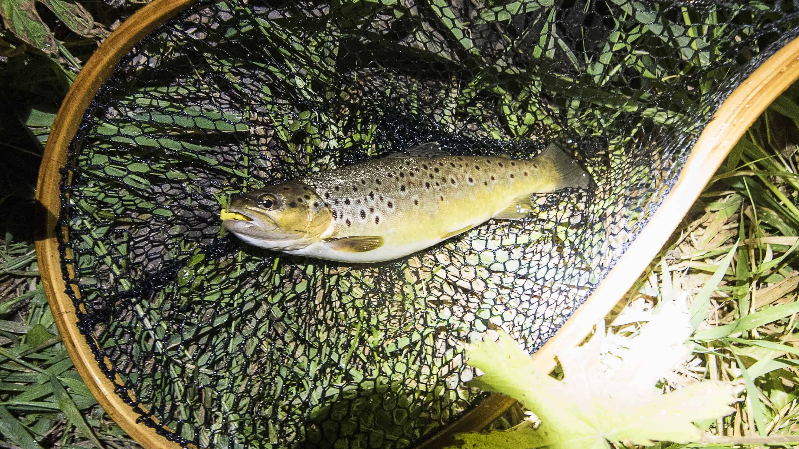 Brown Trout at Night
