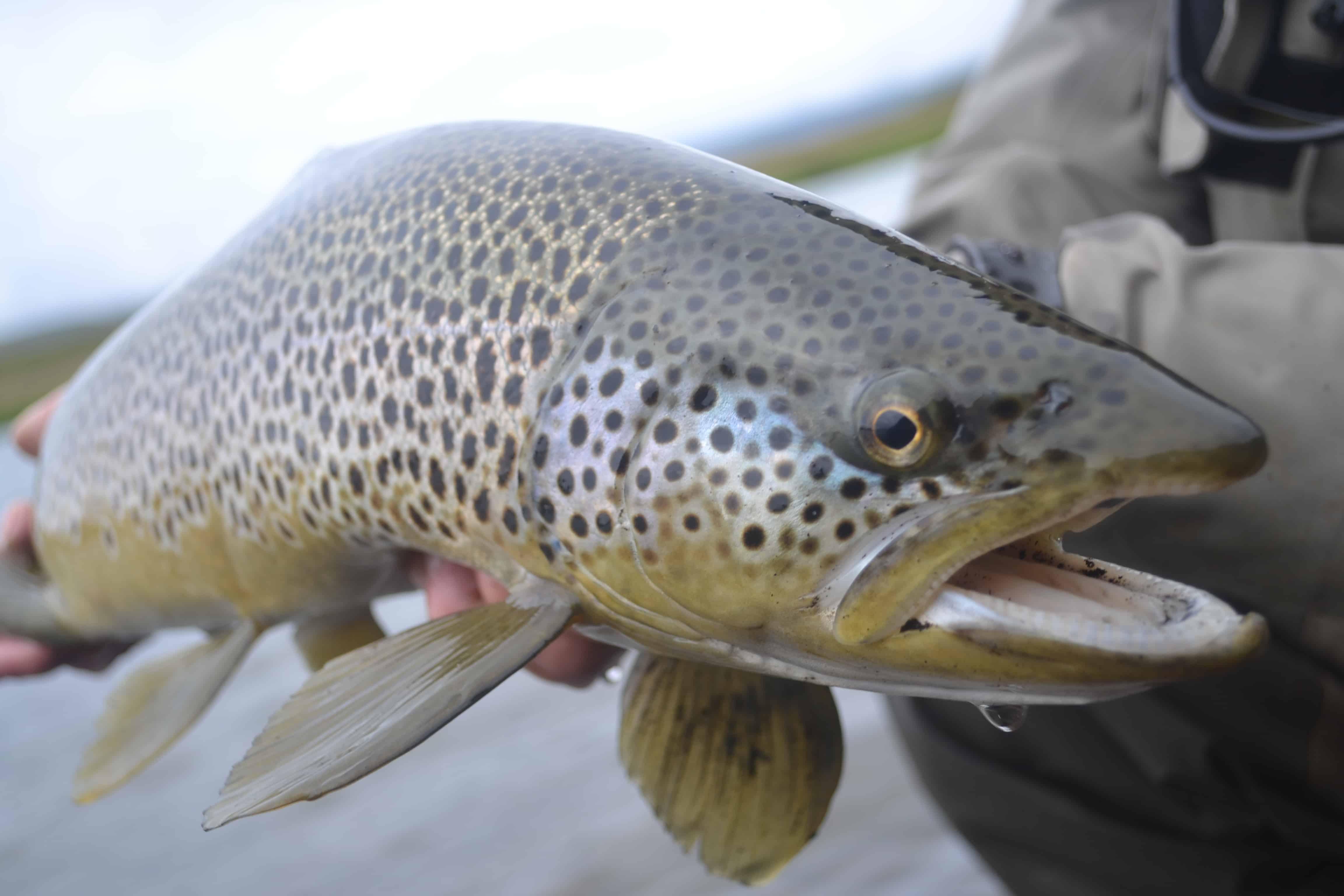 The Big Laxa Native Brown Trout Kristjan Rafnsson Fish Partner The DrakeCast