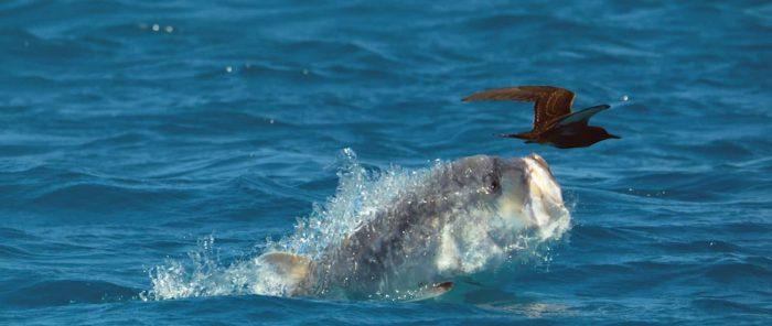 The real story behind that giant trevally footage