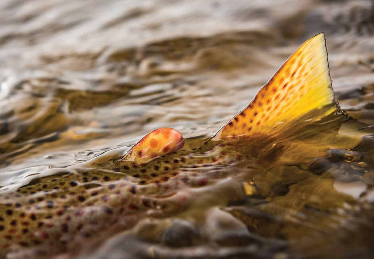 Tracing the translucent lines of a beautiful Wyoming brown trout.