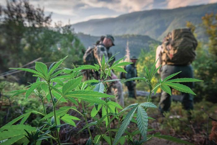 "LAW ENFORCEMENT AGENTS INSPECT A ""TRESSPASS GROW"" ON CALIFORNIA PUBLIC LAND"